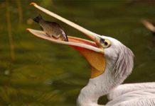dalmatinski pelikan