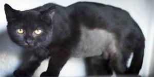 Dumovec mačke